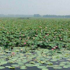微山湖濕地紅荷風景區用戶圖片