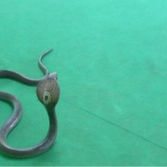 Phuket Cobra Show and Snake Farm User Photo