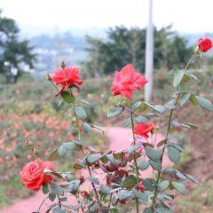 Rose Sea User Photo