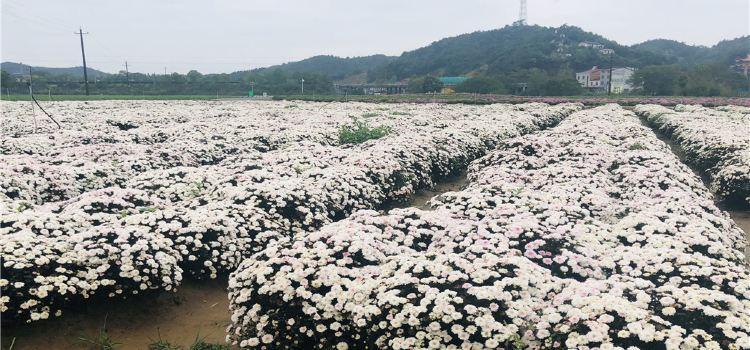 臨湘菊花博覽園1
