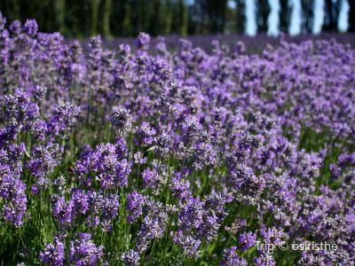 Chappell Hill Lavender Farm