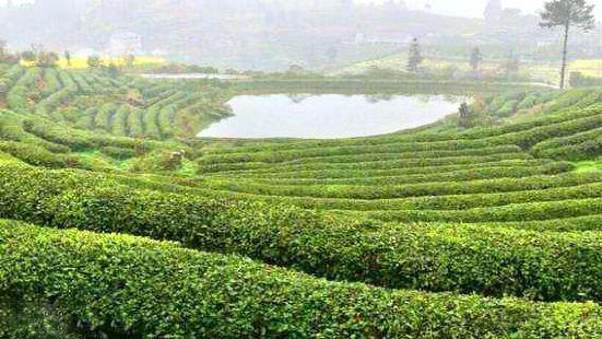Qingzhushan Tea Garden