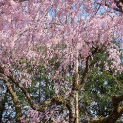 八阪神社用戶圖片
