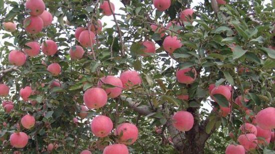 紅蘋果觀光採摘園