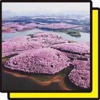 美爆了!廣州出發高鐵直達,萬畝櫻花海壯觀無比!