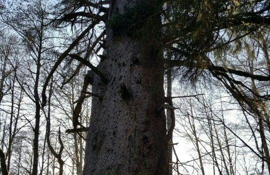 Giant Spruce Park1