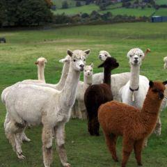 West Wight Alpacas用戶圖片