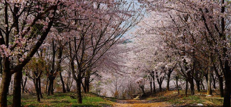 平壩農場櫻花園1