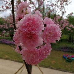 Tianshi Cherry Blossom Park User Photo