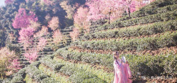 無量山櫻花谷3