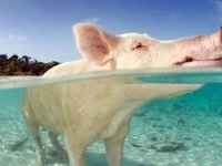 2019繼續做一個世界上最幸福的小豬,比小豬佩琪還火,每天游泳健身晒太陽