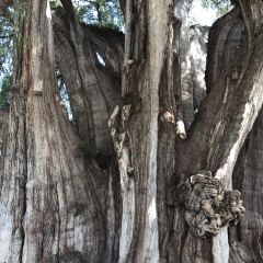 Árbol del Tule用戶圖片