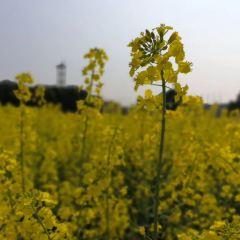 펑셴 유채꽃밭 여행 사진