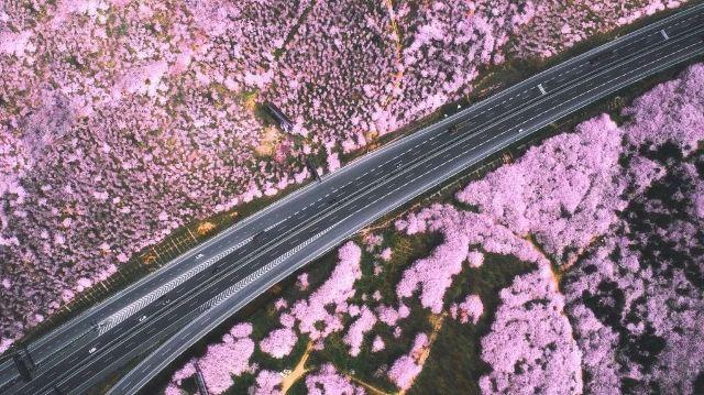 勝過武漢,不輸日本,全球最大的櫻花基地竟在貴州