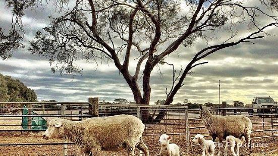 Island Pure Sheep Dairy