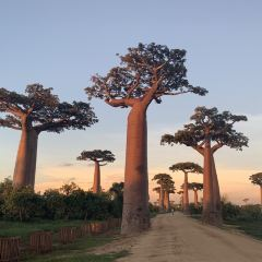 Avenue of the Baobabs User Photo