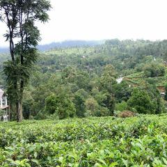 錫蘭茶博物館用戶圖片