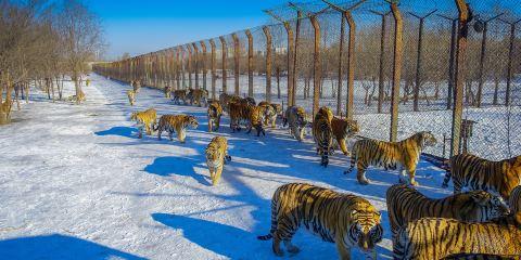 東北虎林園