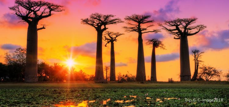 Avenue of the Baobabs2