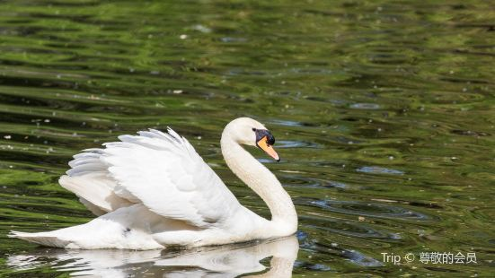 Youbi Swan