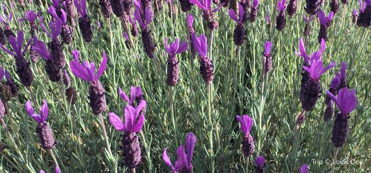 Wanaka Lavender Farm3
