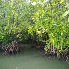 Mangrove Forest User Photo