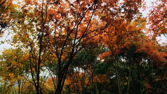 Guiyang Red Maple Forest