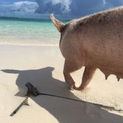 Pig Beach User Photo