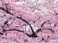 杭州櫻花,美到窒息!