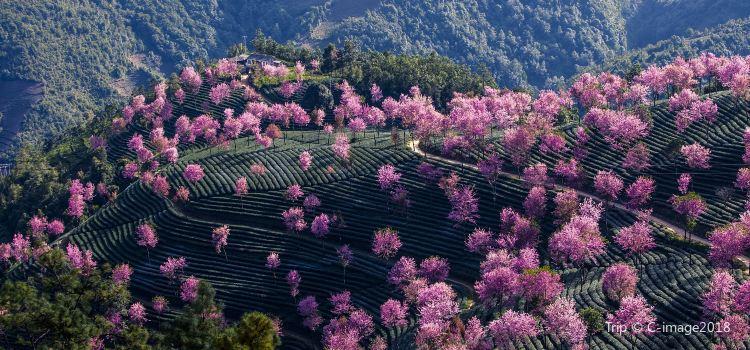 無量山櫻花谷1