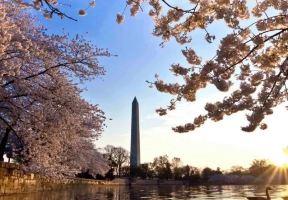 前方高能預警:華盛頓特區的粉紅花海又來啦!