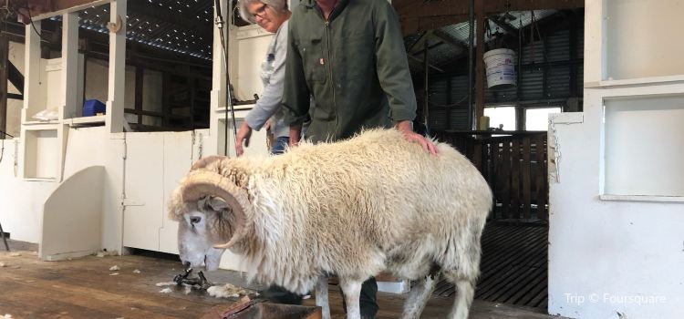 The Point Sheep Shearing Show1