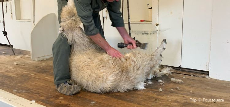 The Point Sheep Shearing Show