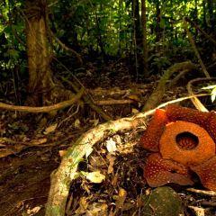 Adenna Rafflesia Garden User Photo