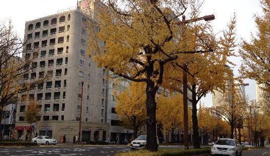 Sakura Avenue Lind with Ginkgo Tree