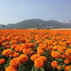 펑황 꽃바다 여행 사진