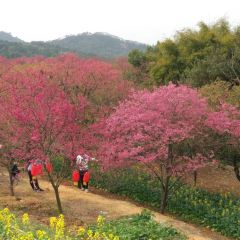 전장 벚꽃 공원 여행 사진