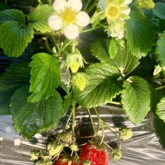 大鬍子有機草莓園用戶圖片