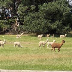 Softfoot Alpaca Farm User Photo
