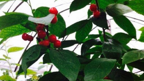 赤松櫻桃採摘