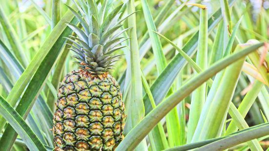 都樂鳳梨種植園