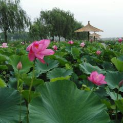 Lotus Grand View Garden User Photo