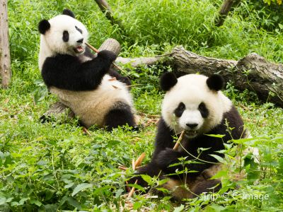 China's Giant Panda Conservation Research Center, Dujiangyan Base