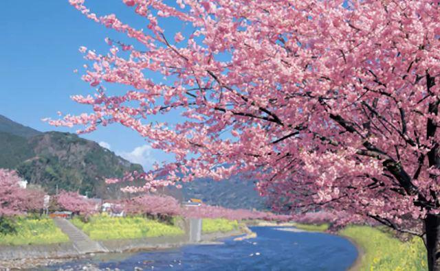 賞最早的櫻花,品一席難求的米其林!