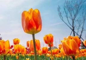 春風十里,邀你看場鬱金香,用花語說愛你!