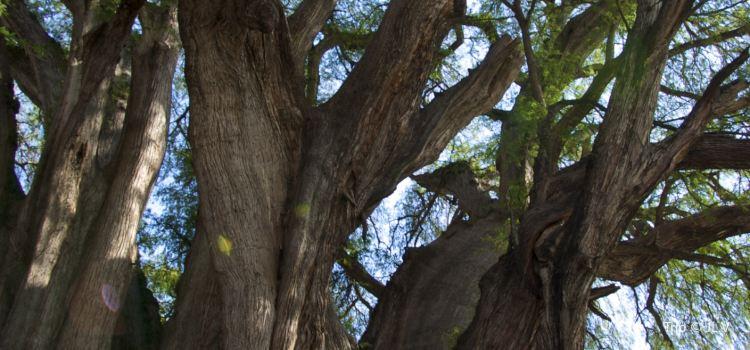 Árbol del Tule2