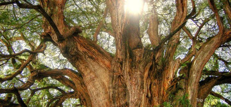 Árbol del Tule1