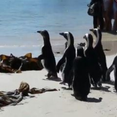 Sanccob Western Cape - Penguin Rehabilitation Center用戶圖片