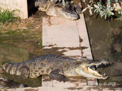 暹粒鱷魚農場