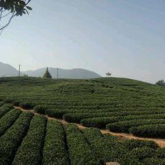 大木山茶園景區用戶圖片